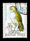 Coruja de celeiro (Tyto alba), serie, cerca de 1984 Imagem de Stock