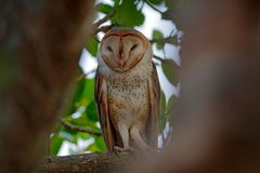 Coruja de Costa Rica Coruja de celeiro mágica do pássaro, Tyto alba, sentando-se no ramo de árvore na luz da noite Pássaro branco imagens de stock