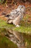 Coruja de Eagle Fotos de Stock