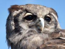 Coruja de Eagle Imagem de Stock