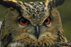 Coruja de Eagle Foto de Stock Royalty Free