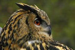 Coruja de Eagle Imagem de Stock Royalty Free