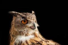 Coruja de Eagle isolada no preto que olha direito Foto de Stock