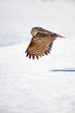 Coruja de grande cinza em vôo Fotografia de Stock Royalty Free