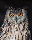 Coruja de águia Fotografia de Stock