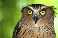 Coruja de águia com olhos piercing. Foto de Stock Royalty Free
