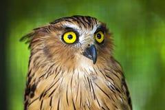 Coruja de águia com olhos piercing. Fotografia de Stock Royalty Free