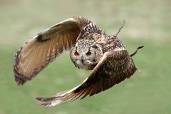 Coruja de águia no vôo Imagens de Stock Royalty Free