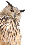 Coruja de águia que olha o Fotos de Stock