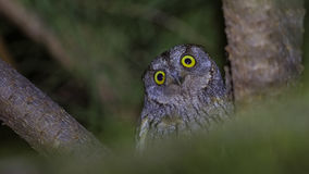 Coruja de Scops do eurasian na noite que olha surpreendida imagem de stock