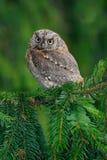 Coruja de Scops pequena do pássaro, scops do Otus, sittting na árvore spruce Imagens de Stock