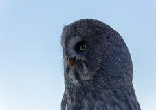 A coruja do olhar Imagem de Stock