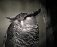 Coruja do sono Fotos de Stock