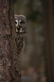 Coruja em uma floresta Fotos de Stock Royalty Free