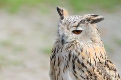 Coruja horned do caçador silencioso da noite com orelha-topetes Fotos de Stock