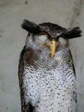 Coruja, Kuala Lumpur Bird Park imagens de stock royalty free