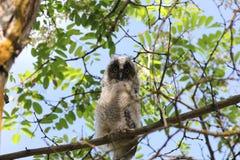 Coruja Long-eared (otus do Asio) foto de stock royalty free