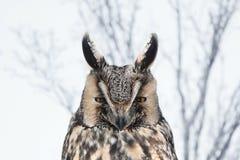 Coruja Long-eared (otus do Asio) Imagem de Stock