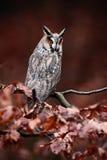 coruja Longo-orelhuda (otus do Asio) que senta-se no ramo alaranjado do carvalho durante o outono Fotografia de Stock Royalty Free