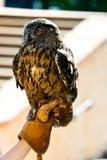 Coruja majestosa empoleirada Imagem de Stock