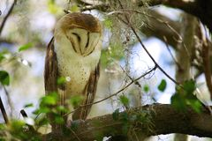 Coruja na árvore foto de stock