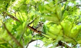 Coruja na árvore Fotografia de Stock