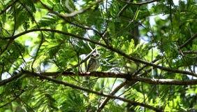 Coruja na árvore Imagem de Stock Royalty Free