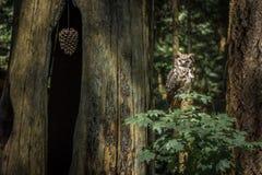 Coruja na floresta úmida canadense Fotos de Stock Royalty Free