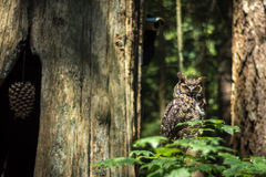 Coruja na floresta úmida canadense Fotografia de Stock
