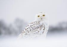Coruja nevado Fotos de Stock Royalty Free