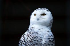 Coruja nevado do pássaro Foto de Stock