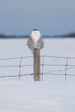 Coruja nevado em Quebeque Imagem de Stock Royalty Free