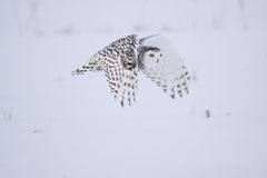 Coruja nevado fêmea Fotos de Stock Royalty Free