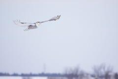 Coruja nevado fêmea Foto de Stock Royalty Free