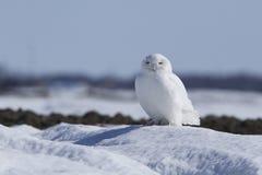 Coruja nevado masculina Foto de Stock Royalty Free