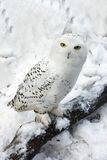 Coruja nevado na neve fotos de stock