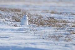 Coruja nevado nas pradarias Imagens de Stock