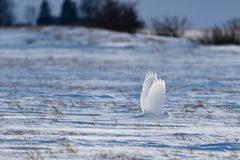 Coruja nevado nas pradarias Foto de Stock
