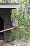 Coruja nevado no jardim zoológico de finland do ar livre em um sono do ramo imagens de stock royalty free