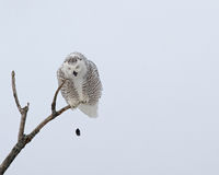 Coruja nevado que repete como um papagaio uma pelota imagem de stock