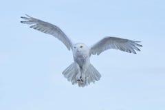 Coruja nevado, scandiaca de Nyctea, voo no céu, cena com asas abertas, Gronelândia do pássaro raro da ação do inverno Imagens de Stock