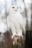 A coruja nevado (scandiacus do bubão) Fotos de Stock Royalty Free