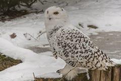 Coruja nevado, scandiacus do bubão Snowy White com olhos amarelos fotografia de stock