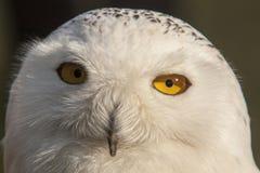 Coruja nevado, scandiacus do bubão Snowy White com olhos amarelos fotos de stock royalty free