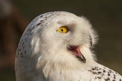 Coruja nevado, scandiacus do bubão Snowy White com olhos amarelos imagem de stock