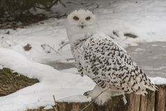Coruja nevado, scandiacus do bubão Snowy White com olhos amarelos imagens de stock
