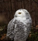 A coruja nevado, scandiacus do bub?o ? uma grande, coruja branca da fam?lia da coruja fotografia de stock royalty free
