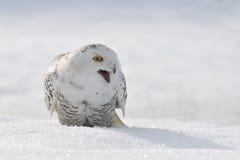 Coruja nevado Shouting Fotografia de Stock Royalty Free