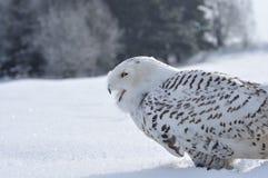 Coruja nevado Shouting Fotografia de Stock