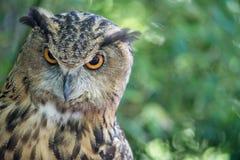 A coruja olha fixamente para baixo Foto de Stock